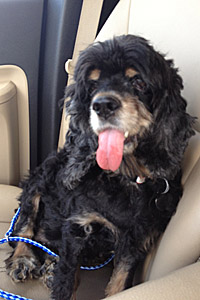 Gracie from Gulf Coast Cocker Spaniel Rescue helped by Strut Your Mutt