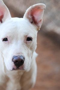 Jewel the shy, white, partially deaf shepherd and bull terrier mix