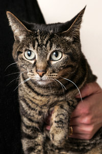Lolli the cat, who is positive for FeLV, in Los Angeles