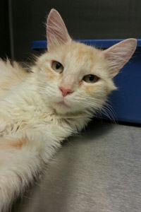 Miss Peaches the cat available for adoption