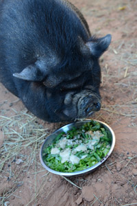 Sammy the pig eats healthier now