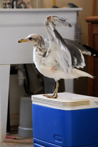 Finn the California gull gets ready to fly