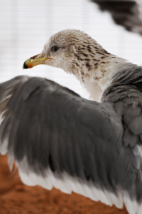 Finn the California gull at Best Friends Animal Society