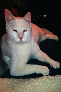 Parker the adoptable white cat from Stray Cat Adoptions of Texas