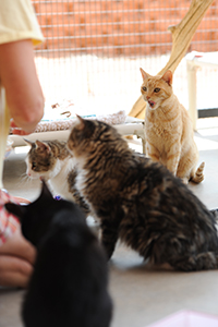 Caregiver feeding shy cats baby food to help socialize them