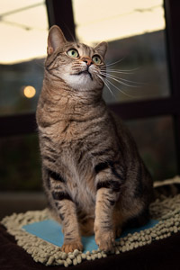 Shelley the adoptable tabby cat from the Best Friends Pet Adoption and Spay/Neuter Center