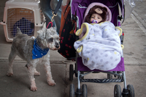 Penelope the baby in a stroller with Ricky the schnauzer at the New York pet adoption event