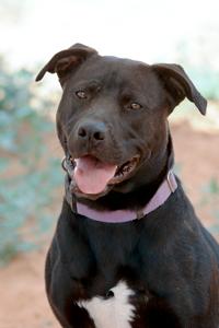 Piston the black pitbull dog