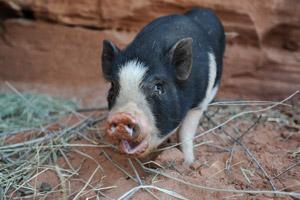 Doogie the pig