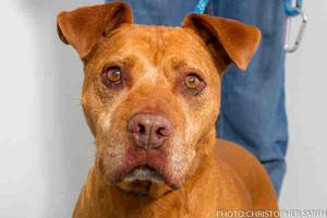 Flojo the pit bull terrier dog
