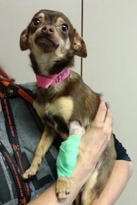 Kiwi the dog had a broken leg. He received TLC in his foster home.