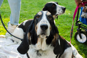 Jack the basset hound