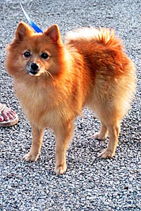 Muffy the Pomeranian with a uterine infection that was discovered during her spay surgery