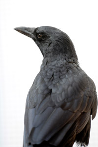 Alfred the crow who was kept as a pet