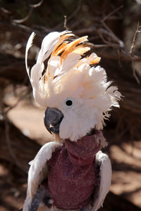 Windy the cockatoo