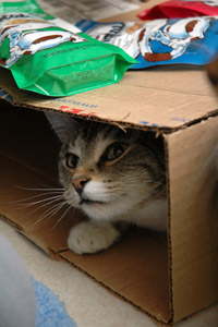Boxes are wonderful playthings (and enrichment) for cats