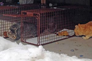 Setting traps to safely catch shy cats to be spayed or neutered