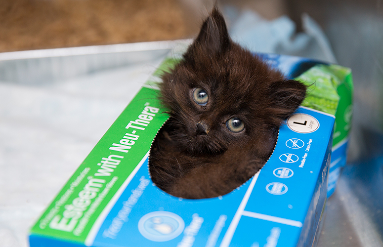 Black kitten in tissue box