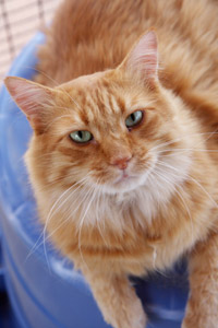 Marcus the Manx cat who has Manx syndrome