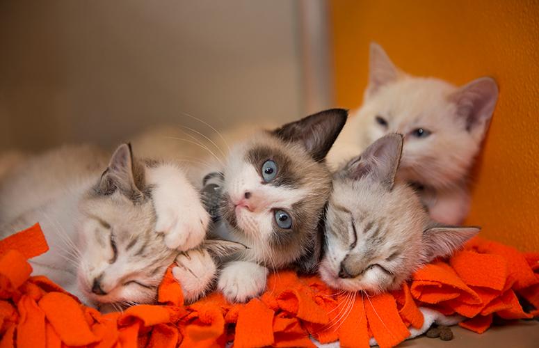 Siamese kitten pile