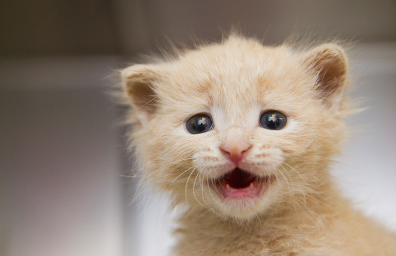 Tiny yellow kitten yelling