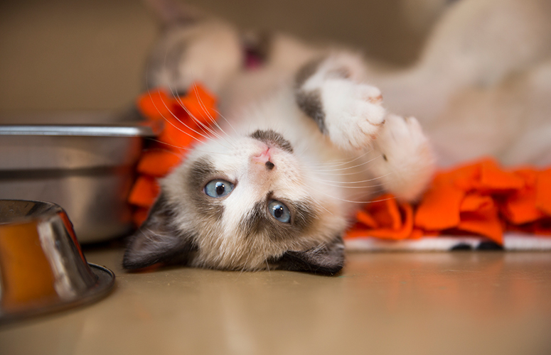 upside down Siamese kitten